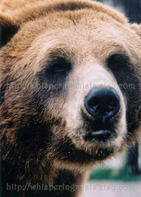 Grizzly Bear 2 - 5x7 watermark
