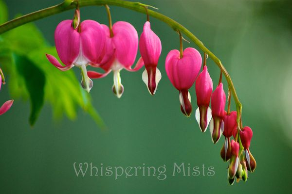 Bleeding Hearts 1